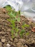 Горохи растя в саде под защитой Vegetable садовничать Стоковые Изображения