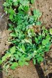 Горохи Mangetout в саде Стоковые Изображения