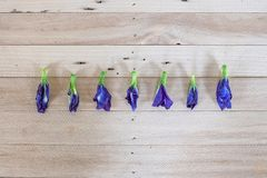 Горох бабочки, голубой горох высушил цветок (ternatea l Clitoria) на wo стоковые фото