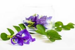 Горох бабочки, красивые фиолетовые цветки в стеклянном опарнике Стоковое Изображение RF