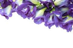 Горох бабочки на белой предпосылке Стоковые Фотографии RF