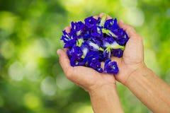 Горох бабочки свежих цветков в руках на запачканной зеленой предпосылке bokeh Стоковое фото RF