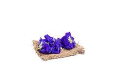 Горох бабочки цветет на белой предпосылке, селективном фокусе, popu Стоковые Изображения