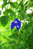 горох цветка бабочки Стоковое Изображение