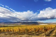 Город Вашингтон Benton горы желтых виноградников падения виноградин лоз красный стоковое фото