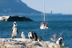 городок пингвина колонии плащи-накидк Стоковая Фотография RF