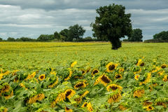 городок Тоскана солнцецветов san gimignano поля chianti backgroun красивейший Стоковое Изображение