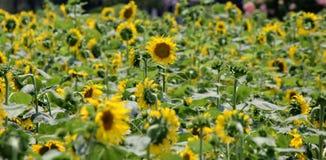 городок Тоскана солнцецветов san gimignano поля chianti backgroun красивейший Стоковое Фото