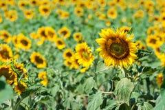 городок Тоскана солнцецветов san gimignano поля chianti backgroun красивейший Стоковые Изображения