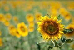 городок Тоскана солнцецветов san gimignano поля chianti backgroun красивейший Стоковая Фотография RF