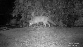 Городская одичалая лиса на лужайке дома на ноче акции видеоматериалы
