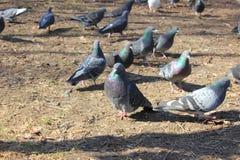 Городские голуби стоковые фото