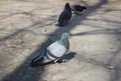 Городские голуби стоковая фотография rf