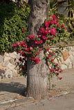 Городское rosebush Стоковая Фотография