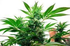 Городской вырастите медицинская марихуана стоковые фото