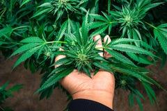 Городской вырастите медицинская марихуана стоковые изображения
