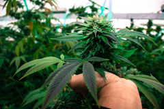 Городской вырастите медицинская марихуана Стоковые Фотографии RF