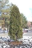 Городской высокий arborvitae в парке зимы стоковое изображение
