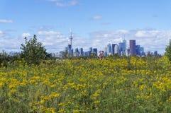 Городской пейзаж горизонта Торонто с желтым полем полевого цветка на переднем плане Стоковые Изображения