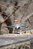 Городской Woodpecker Стоковое фото RF