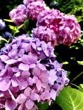 Гортензии в цветени Стоковое Фото