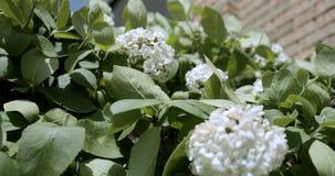 Гортензии цветков тряся в конце-вверх ветра ( сток-видео