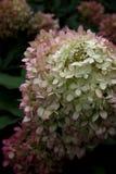Гортензия на цветени поздним летом стоковое фото