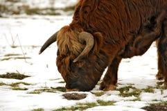 горцы шотландские Стоковые Фотографии RF