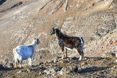 горы Испания lanzarote острова козочки Стоковые Изображения