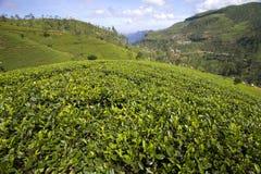 Горы сада чая Шри-Ланка стоковая фотография