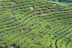 Горы сада чая Шри-Ланка Стоковое Изображение RF