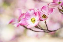 Горы Теннесси цветеня дерева кизила весной закоптелые Стоковая Фотография