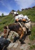 ГОРЫ ALTAI, РОССИЯ - 14-ОЕ ИЮЛЯ 2016: Местные люди используя лошадей для транспорта на горе Belukha Стоковые Изображения RF