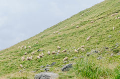 Горы Fagaras, Карпаты с зеленой травой и овцами, Tran Стоковые Фото