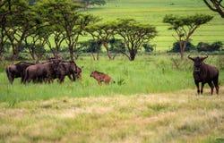 горы kanonkop Африки известные приближают к рисуночному южному винограднику весны Стоковая Фотография RF