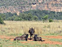 горы kanonkop Африки известные приближают к рисуночному южному винограднику весны Стоковое Изображение