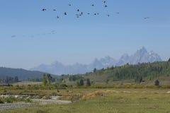Горы Teton и стадо гусынь в полете, Вайоминга стоковое изображение rf
