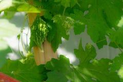 Горькая тыква на ей charantia Momordica лозы стоковые фото