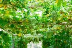 Горькая тыква овоща тыквы для здоровья сада стоковые изображения