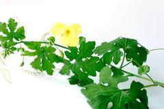 Горькая тыква с листьями на белой предпосылке стоковое изображение rf