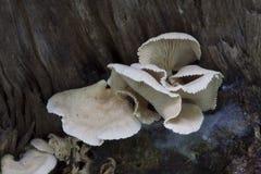 Горький гриб устрицы Стоковое фото RF
