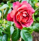 Горячая красная роза какао Стоковое Фото