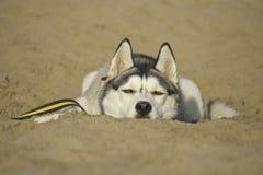 Горячая, осиплая собака лежа в песке Стоковые Изображения RF