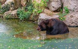 Горячий день канадского черного медведя стоковое фото rf