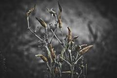 Горячий перец - черно-белый Стоковые Изображения