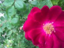 Горячий пинк Роза на праве Стоковые Изображения
