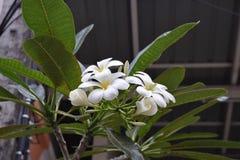 Горячий тайский Plumeria в Пхукете стоковые изображения rf