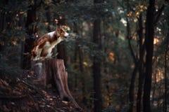 Гордая собака Коллиы границы Стоковые Фото
