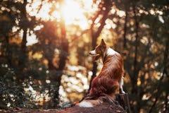 Гордая собака Коллиы границы стоковое фото rf