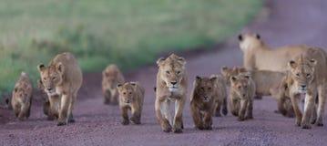Гордость африканских львов в кратере Ngorongoro в Танзании Стоковые Изображения